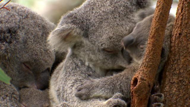 Mother Koala and young Koala sleeping