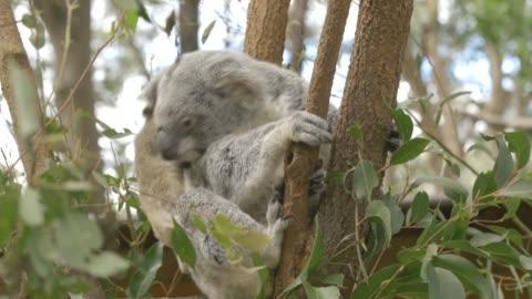 mother koala scratching herself on top of eucalyptus tree in eastern australia - 有袋類点の映像素材/bロール