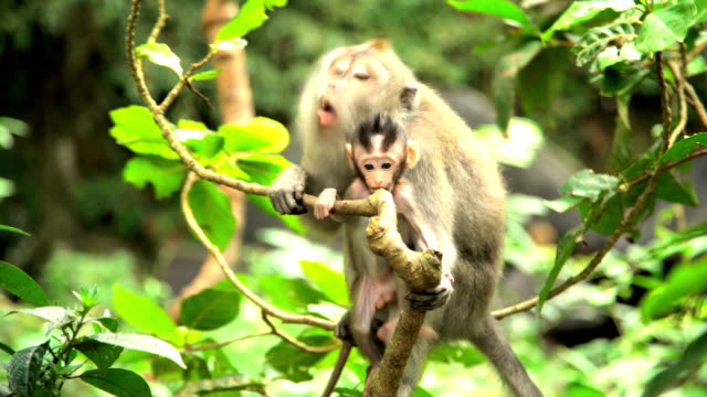 mother macaque ape with juvenile in trees indonesia - ubud stock videos & royalty-free footage