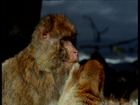 vidéos et rushes de mother macaque scratches her itchy ear - bouche humaine