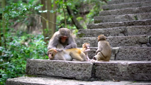 mother monkey finding bugs for her children - four animals stock videos & royalty-free footage