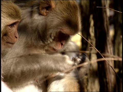 stockvideo's en b-roll-footage met a mother monkey grooms her young. - groep dieren