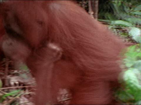 mother orangutan walking on forest floor w/ baby, holding vine standing on fallen tree, splashing water. - pair stock videos & royalty-free footage