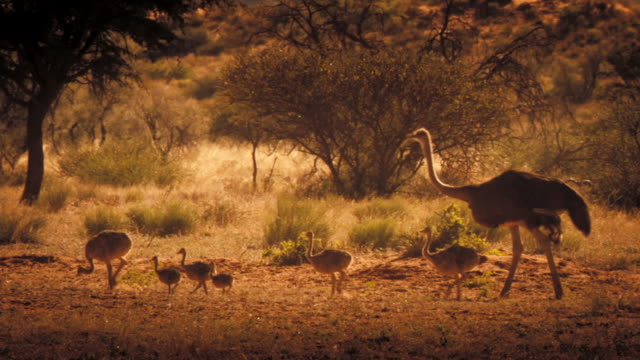 a mother ostrich follows behind her chicks. available in hd. - young animal stock-videos und b-roll-filmmaterial
