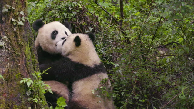 vidéos et rushes de mother panda and a cub, china - film documentaire image animée