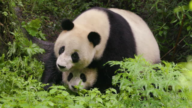 mother panda and a cub, china - panda stock-videos und b-roll-filmmaterial