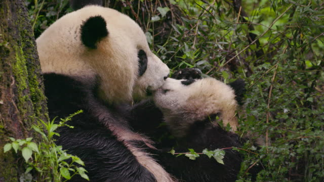 mother panda and a cub, china - パンダ点の映像素材/bロール