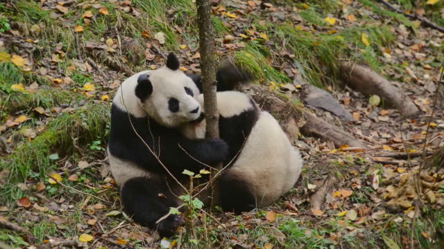 mother panda breast feed the cub, china - panda stock-videos und b-roll-filmmaterial