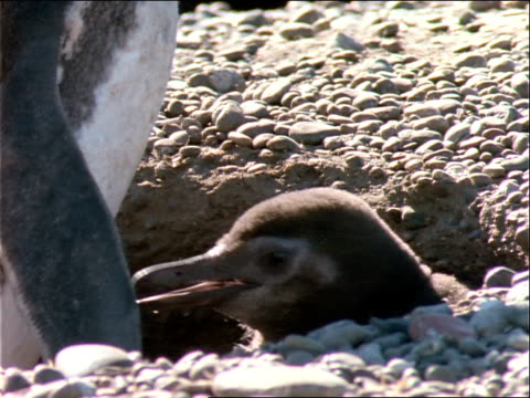 a mother penguin stands over her young in a hole on a beach. - flightless bird stock videos & royalty-free footage