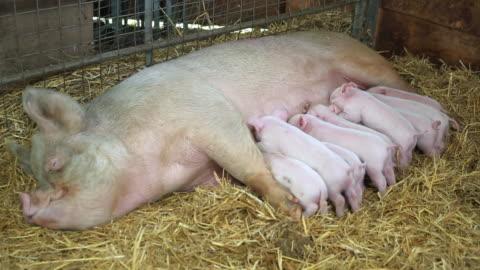 vídeos y material grabado en eventos de stock de mother pig with suckling piglets - grupo grande de animales