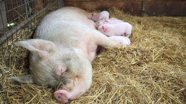 mother pig with suckling piglets - 横向きに寝る点の映像素材/bロール