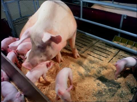 mother pigs + piglets nursing / brazil - animal pen stock videos & royalty-free footage