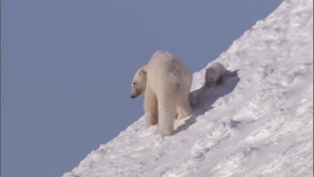 a mother polar bear and her cubs stand together on a snowy slope on svalbard, norway. - polar bear stock videos and b-roll footage