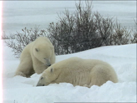 a mother polar bear digs in the snow as two cubs watch. - 水の形態点の映像素材/bロール