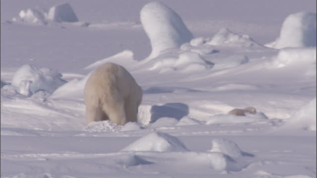 stockvideo's en b-roll-footage met a mother polar bear digs into a seal den. - dierenhol