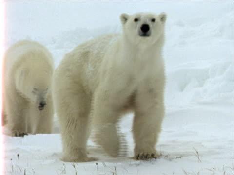 a mother polar bear sniffs the air as a cub follows her. - 水の形態点の映像素材/bロール