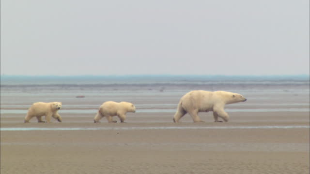 A mother Polar bear walking and Two bear cubs following