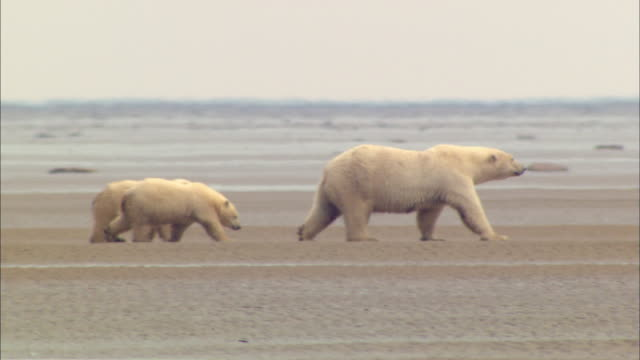 vidéos et rushes de a mother polar bear walking and two bear cubs following - famille d'animaux