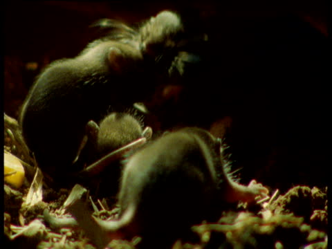 mother rat drags young one by the face, yorkshire - young animal stock-videos und b-roll-filmmaterial