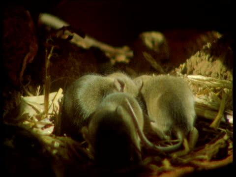 Mother rat removes babies from nest, Yorkshire