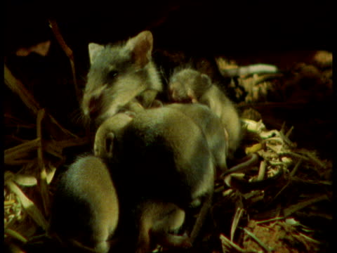 Mother rat with babies in nest, Yorkshire