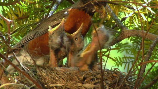 cu mother robin arriving to feed a mouthful of bugs to four hatchlings in a nest/ zo mother hopping away/ chelsea, michigan - hungry stock videos & royalty-free footage
