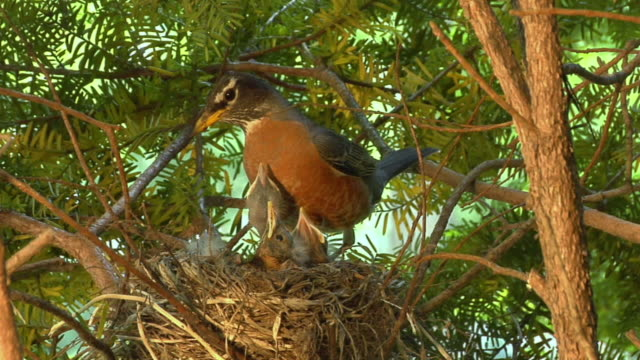 CU Mother robin eating fecal sac produced by hatchling in nest/ Chelsea, Michigan