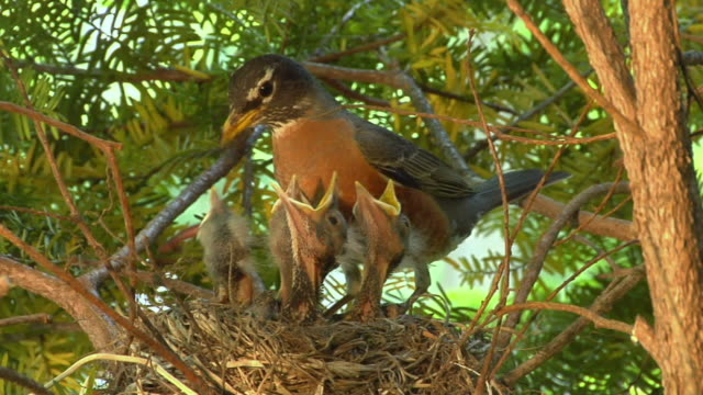 cu mother robin feeding worms to hungry hatchling in nest/ chelsea, michigan - hungry stock videos & royalty-free footage