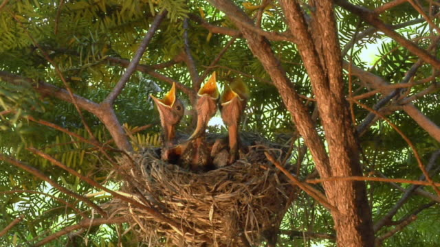 vídeos y material grabado en eventos de stock de cu zi mother robin standing over sleeping hatchlings in nest/ mother leaving as babies beg for food/ chelsea, michigan - cinco animales
