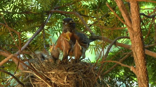 vídeos de stock e filmes b-roll de cu mother robin taking care of hatchlings in nest/ chelsea, michigan - cara para baixo