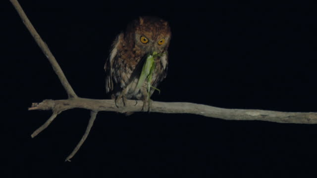 mother scops owl with a prey/ dmz (demilitarized zone between south and north korea), goseong-gun - hd format stock videos & royalty-free footage