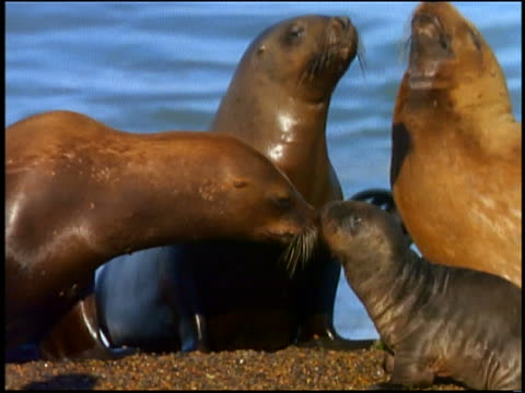 mother sea lion kissing baby sea lion as other sea lion looks on in background - sea lion stock videos & royalty-free footage