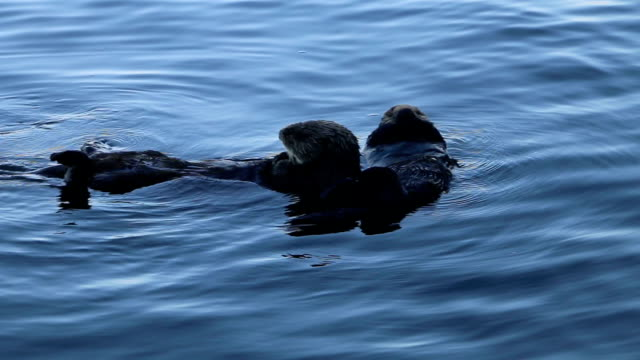 mother sea otter and its child are the increasingly popular object of photographs. from a boat, the mother was seen glooming the child and later... - カワウソ点の映像素材/bロール