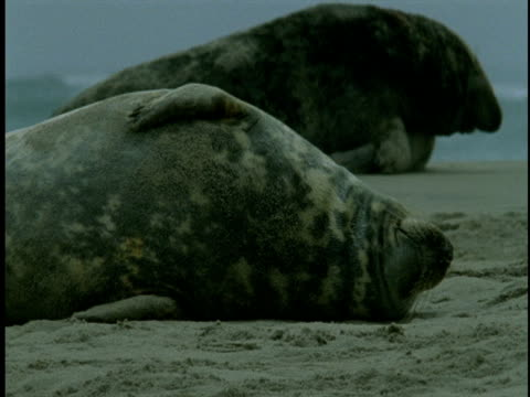 a mother seal lounges as her pup nurses. - seal pup stock videos & royalty-free footage