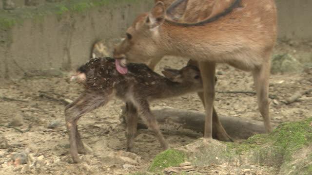vídeos y material grabado en eventos de stock de mother sika deer and baby fawn - cervato