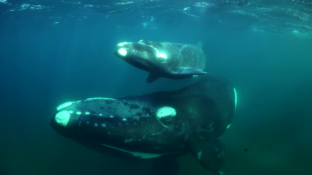 Mother southern right whale and her calf swim in very close and turn in front of camera, Nuevo Gulf, Valdes Peninsula, Argentina.