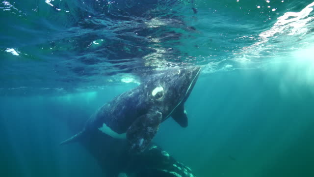 mother southern right whale and her calf swim straight at the camera, nuevo gulf, valdes peninsula. - southern right whale stock videos & royalty-free footage