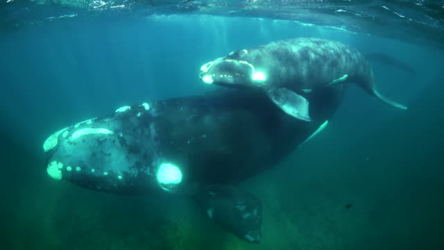 mother southern right whale and her calf swimming along the surface in shallow water, nuevo gulf, valdes peninsula, argentina. - calf stock videos and b-roll footage