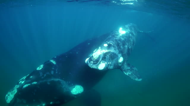 mother southern right whale and her small calf swim toward the camera. nuevo gulf, valdes peninsula. - calf stock videos and b-roll footage