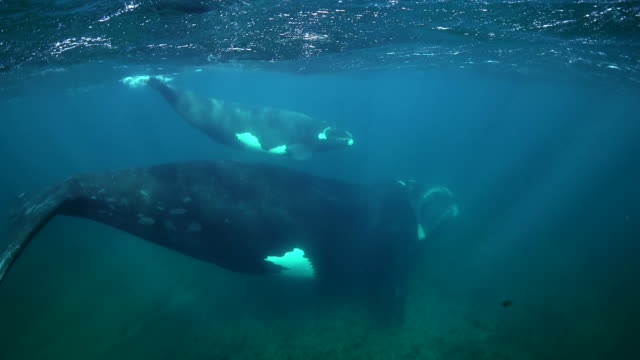 Mother southern right whale and her very small calf swimming in very shallow water, Nuevo Gulf, Valdes Peninsula, Argentina.