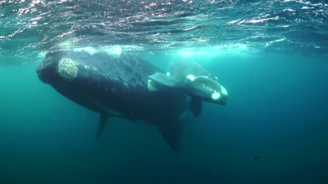mother southern right whale and her very young calf swimming towards the camera, nuevo gulf, valdes peninsula, argentina. - calf stock videos and b-roll footage