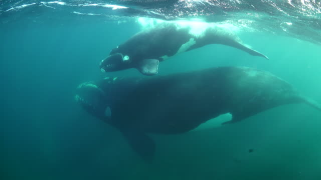 mother southern right whale and her young calf swimming at the surface, nuevo gulf, valdes peninsula, argentina. - southern right whale stock videos & royalty-free footage