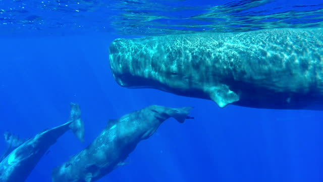 mother sperm whale and three calves swimming along the surface take a dive then one curious calf comes to look straight at the camera from below, north western coast of mauritius. - sperm whale stock videos and b-roll footage