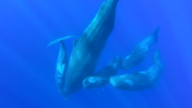Mother sperm whale interacting with four calves just below the surface, north western coast of Mauritius.