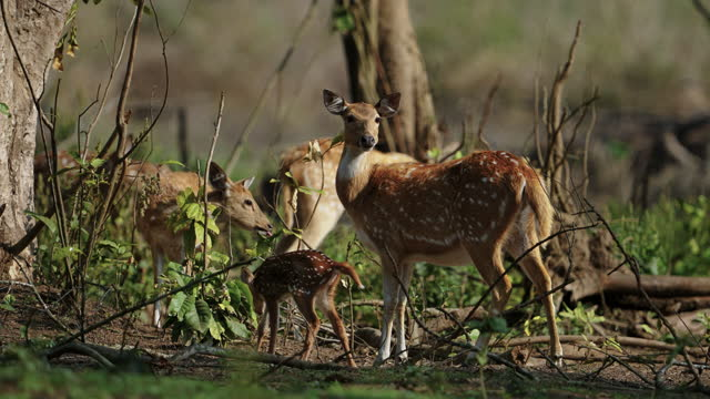 mother spotted deer or chital or axis deer with her fawn shot in ultra slow motion - antler stock videos & royalty-free footage