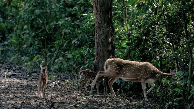 mother spotted deer or chital or axis deer with her fawn shot in ultra slow motion - herbivorous stock videos & royalty-free footage
