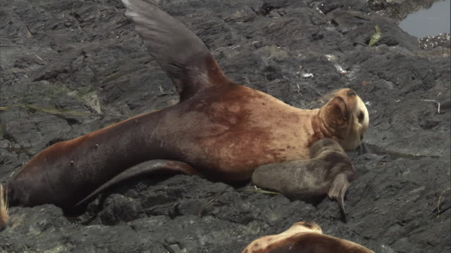 a mother steller's sea lion lies on a rocky beach with her new born cub. available in hd. - seal pup stock videos & royalty-free footage