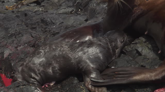 a mother steller's sea lion uses her teeth to lift her new born pup. available in hd. - seal pup stock videos & royalty-free footage