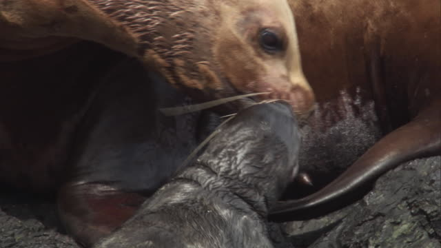a mother steller's sea lion uses her teeth to pull her new new born pup closer. available in hd. - sea lion stock videos & royalty-free footage