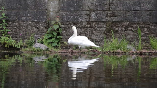 mother swan and her babies resting in their nest - cigno reale video stock e b–roll